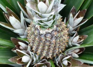 02-logo-ananas.jpg