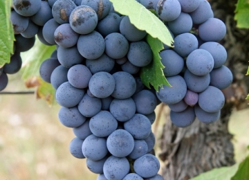 grapes-522010_cr.jpg