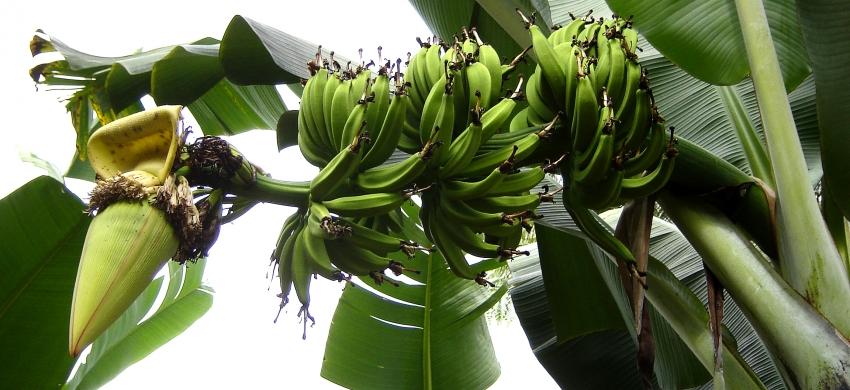 Nzumoheli, bananier à cuire de la zone Océan Indien et Afrique de l'Est