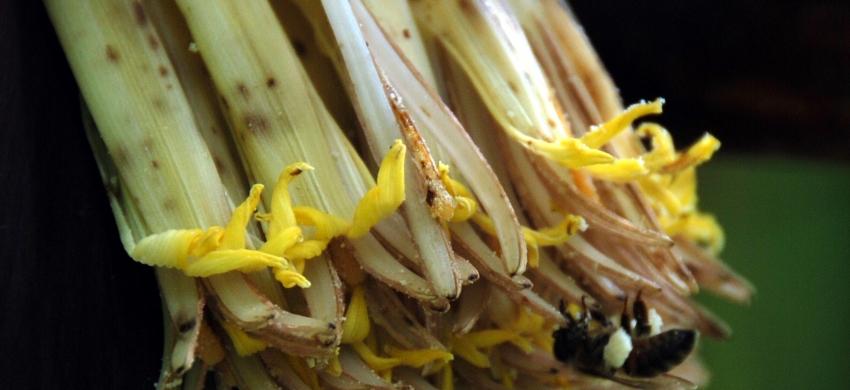 Fleurs mâles de bananiers, chargées de  pollen