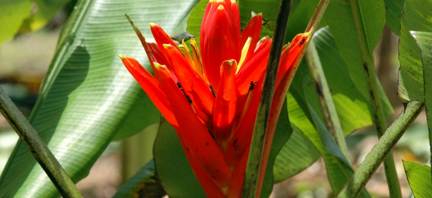 Musa coccinea, bananier ornemental de la section Callimusa
