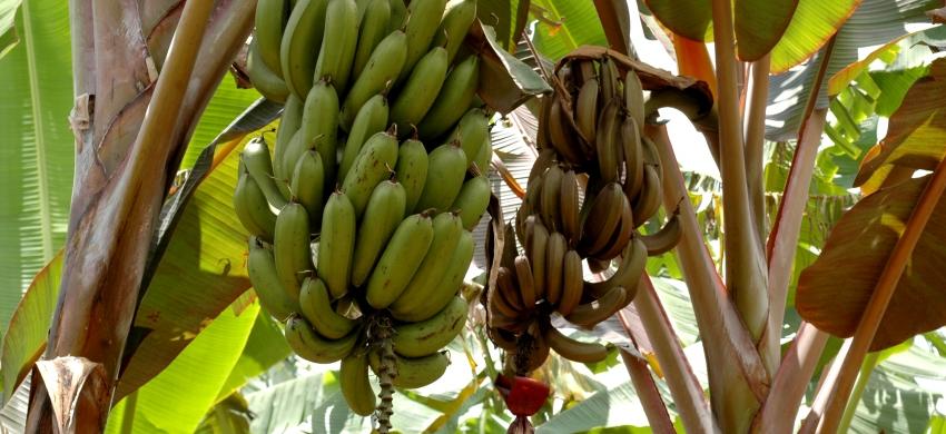 Maoli Bronze, bananier à cuire de la zone Pacifique