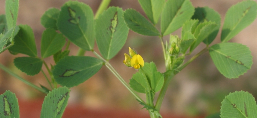 Medicago truncatula - Feuilles et fleurs