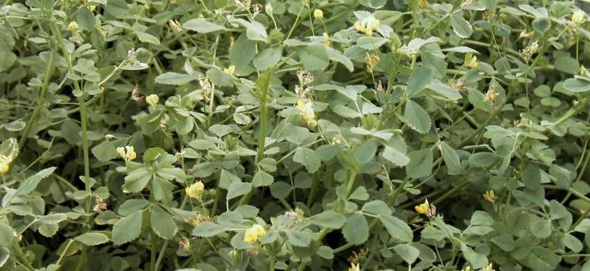 Medicago truncatula - floraison