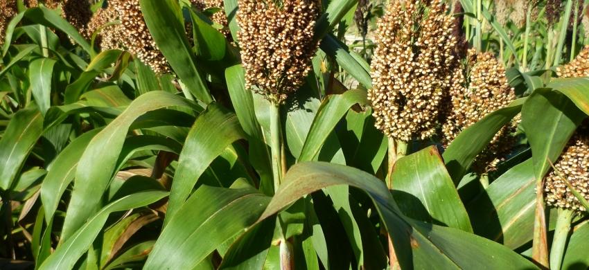Plant de sorgho