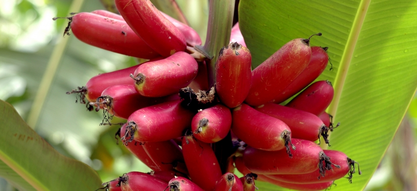 Ta, bananier diploïde de Papouasie Nouvelle Guinée