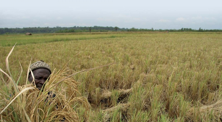 Récolte du riz en Basse-Guinée.