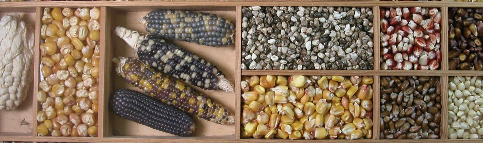 diversité-maïs2.jpg