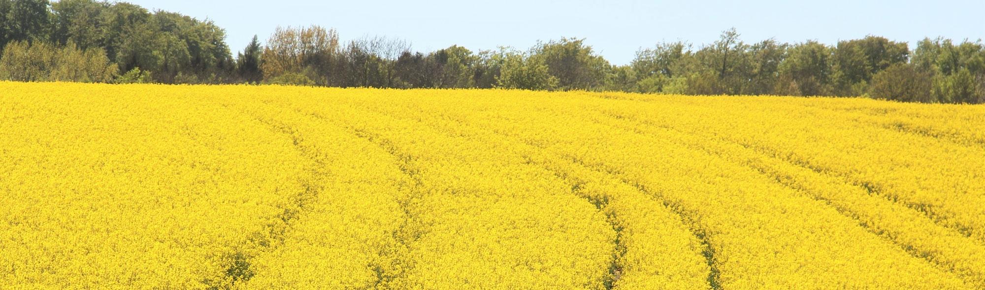 field-of-rapeseeds-1380239.jpg